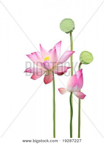 lotus flower and seedpod