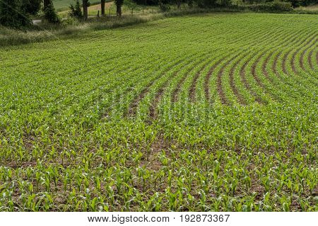 Rows of corn seedlings on a field.