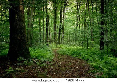 A trail in the forest bordered by trees and ferns.