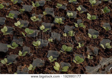 Cauliflower Extreme Close Up