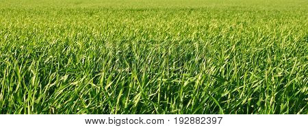 Green growing field. Panorama, focus on foreground.