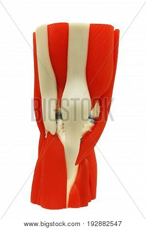Plastic study model of knee anatomy (joint) isolated on white background clipping path.