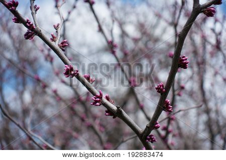 Bright Pink Buds Of Cercis Canadensis In Spring