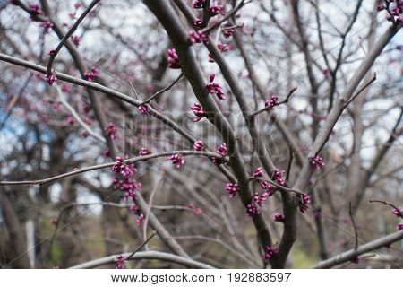 Bright Pink Buds Of Eastern Redbud In Spring