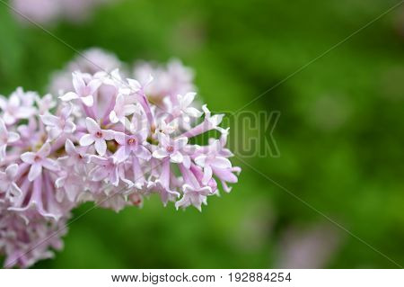 Close up of flowering Hungarian lilac (Syringa josikaea). Green blurred background.