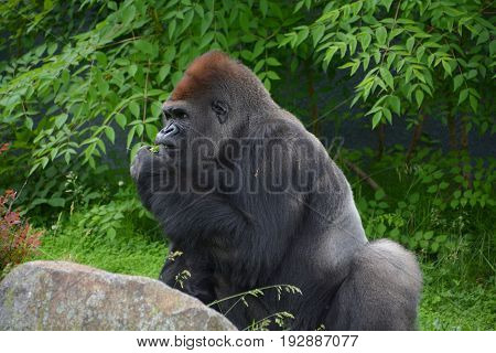 Gorillas are ground-dwelling, predominantly herbivorous apes that inhabit the forests of central Africa. The DNA of gorillas is highly similar to that of humans, from 95-99%