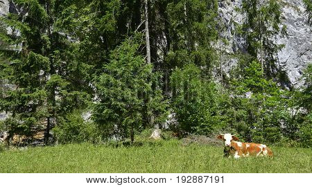 A solitary brown and white dairy cow in a mountain pasture near Pontebba Friuli Venezia Giulia north east Italy.