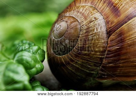 Snail Shell Texture.shell Of Snail In Gras Closeup.macro Photography
