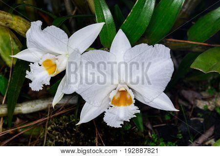 Dendrobium Infundibulum Lindl, Orchidaceae.