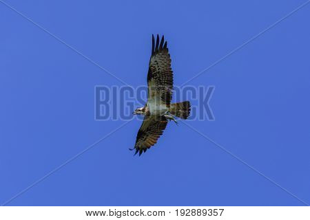 Osprey, Sea Hawk, Fish Eagle(pandion Haliaetus)