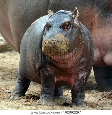 Hippopotamus cub (Hippopotamus amphibius), or hippo, from the ancient Greek for