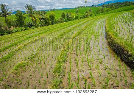 Beautiful green rice terraces with small rice plants growing, near Tegallalang village in Ubud, Bali Indonesia.