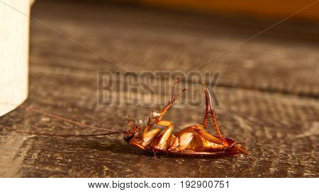 Cockroach isolated on wooden floor in Laos