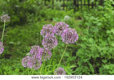 Decorative bow, allium, on a background of green grass