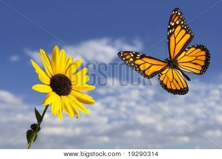 Monarch Butterfly against Blue Sky and Small Sunflower. Focus on sunflower and butterfly. poster