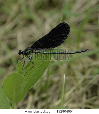 A Damselfly, an Ebony Jewelwing (Calopteryx maculate), sits on a leaf, shown in left profile, in Gettysburg, Pennsylvania, USA.