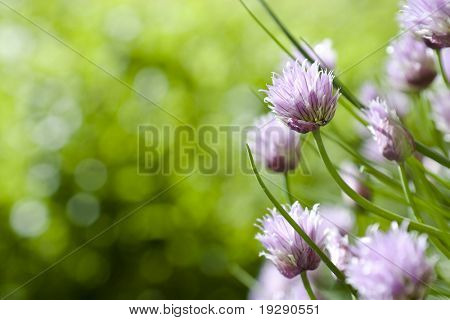 Chive Blossoms with extreme selective focus on single bloom