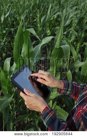 Agriculture, Farmer Examining Corn Field