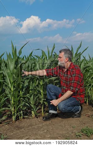 Agricultural Scene, Farmer In Green Corn Field
