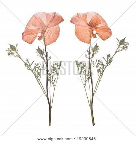 Dried and pressed the spring pink flowers isolated on white background. Herbarium of wild flowers