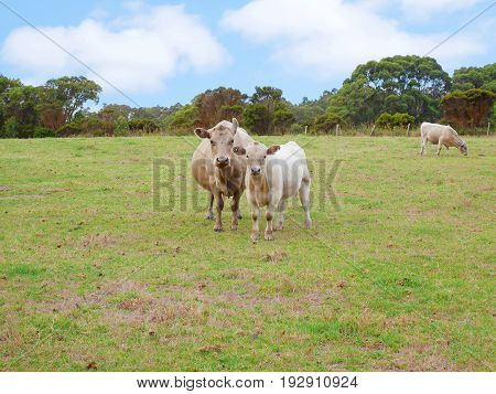 Cows staring at the camera on the field