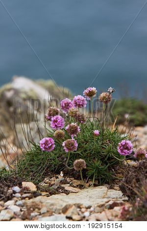 Sea Pink or Thrift flowers growing beside Anglesey coast path above the beach in early summer