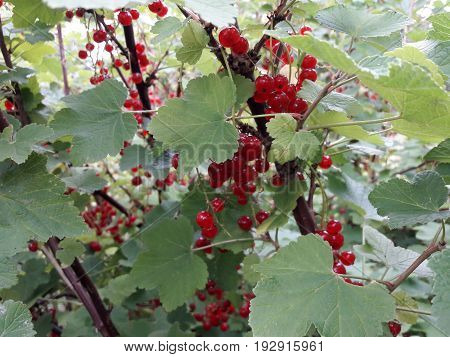 Abundant crop of red currant Against the background of green leaves Good harvest Red berry