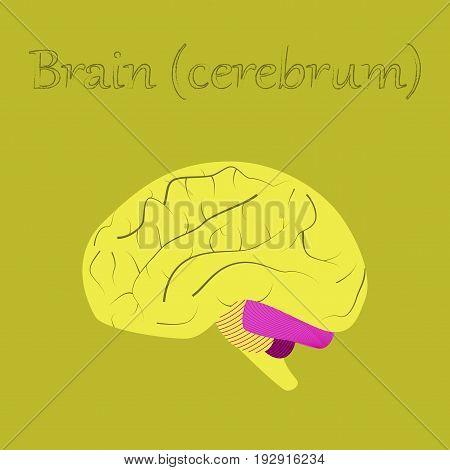 human organ icon in flat style brain