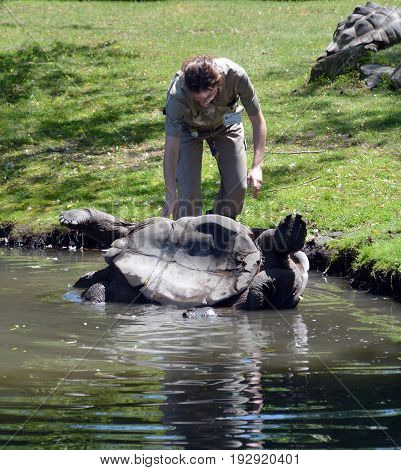 GRANBY QUEBEC CANADA JUNE 08 2017: Keeper help to roll over an up side down Aldabra giant tortoise on a lake