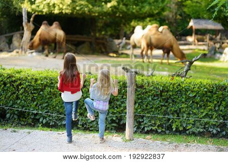 Two Cute Little Sisters Watching Camels In The Zoo On Warm And Sunny Summer Day. Children Watching Z