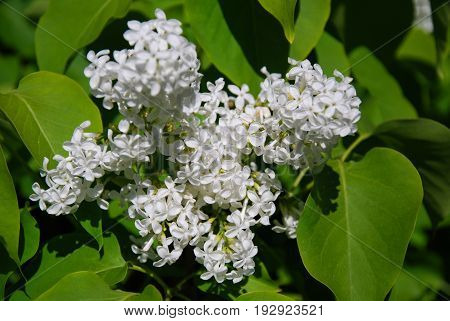 Close up of a branch of white blossom lilac flowers