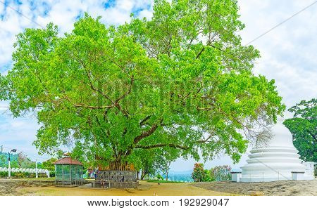The giant old Bodhi Tree in Lankathilaka Vihara with the white Stupa from the right side Udunuwara Sri Lanka.