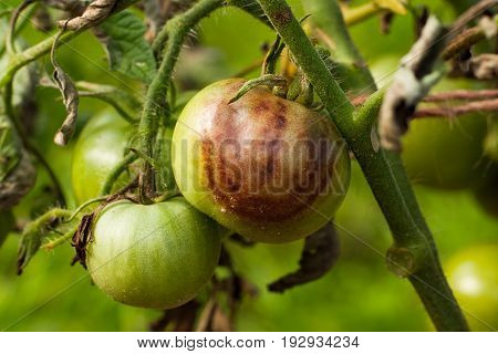 Diseases Of Tomato. Tomato Stricken Phytophthora (Phytophthora Infestans) In Vegetable Garden Close Up.