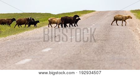 A herd of rams cross the road .