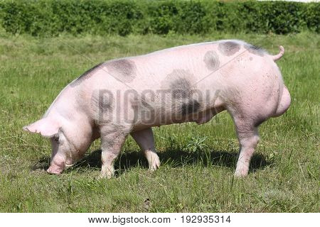 Young spotted pietrain pig with black spots on farm field