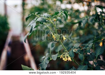 close-up plant is a tomato with a flower, an ovary, a pestle and a stamen, the fruits are green. Concept greenhouse with sprouts.