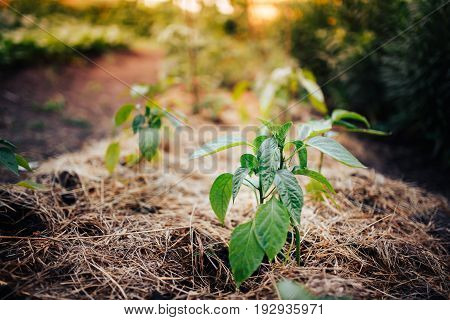 Sprout of young pepper on the garden in the greenhouse. A large plantation. Shine of the sun.