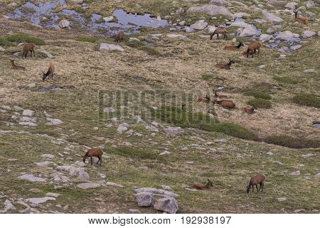 a herd of cow and calf elk above timberline in the summer