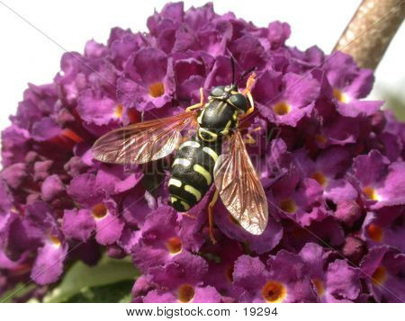 Hoverfly 02
