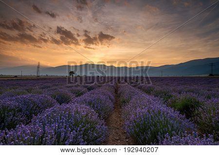 Lavender fields. Beautiful image of lavender field. Summer sunset landscape