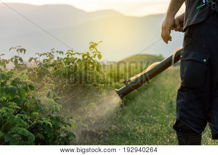 Spraying rose field near Karlovo at sunset