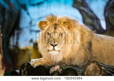 A portrait of a lion in a zoo .