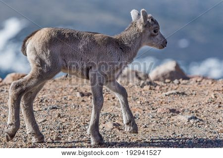 Baby Bighorn Sheep Lamb on the Mountain