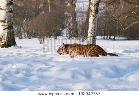 Panthera tigris altaica - Amur tiger ambush for the prey on snow.Action wildlife scene with danger animal