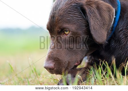 young cute brown labrador retriever puppy on a meadow with a leash around his neck looking down and smelling