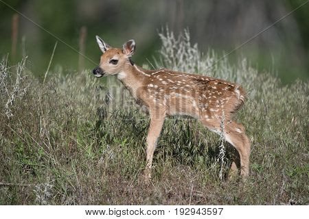 A Newborn Baby Fawn Explores the World