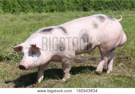Spotted pietrian breed pig at animal farm on pasture