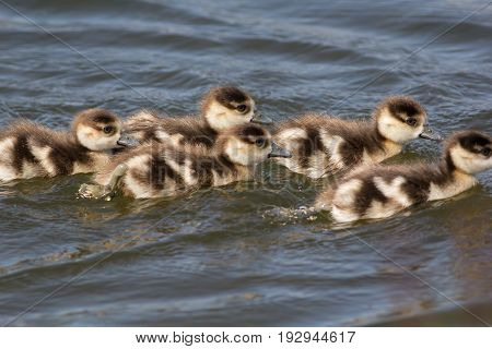 Baby egyptian goose (Alopochen aegyptiaca) gosling. Young baby geese swimming in a line on lake. Cute brown and cream fluffy chicks.