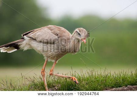 Red-legged seriema (Cariama cristata). Prehistoric terror bird relation. Evolutionary throwback.