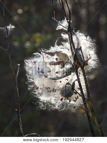 Cotton Boll Bursting Open with Seeds and Cotton Flying
